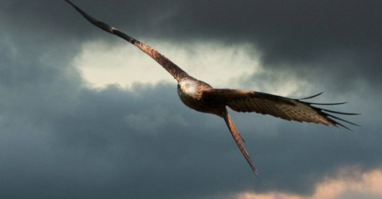 red kite feeding wales